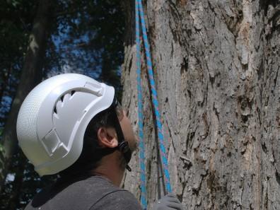 Patrick Falardeau, arborist, looking at a 180 year old maple tree.